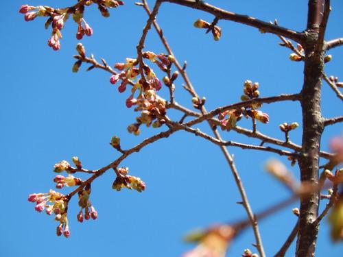 春到来?...河津桜が開花開始!_b0137932_181797.jpg