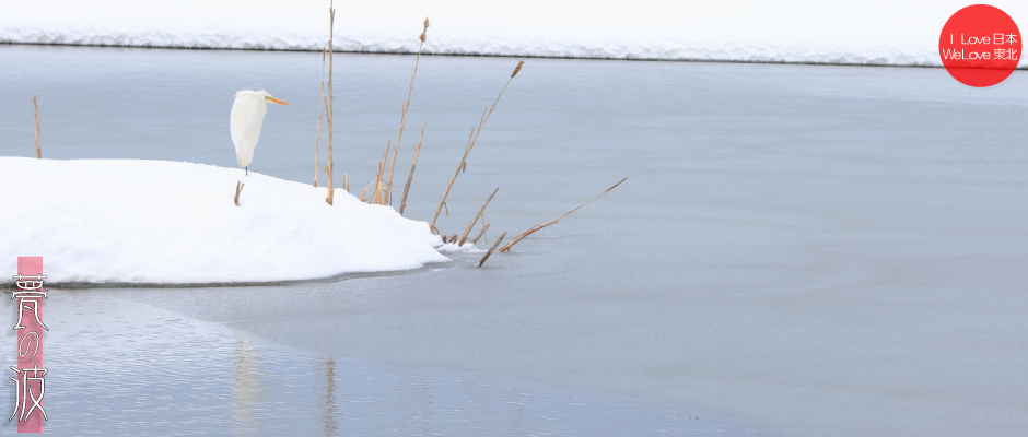 雪の晴れ間の新瀬戸地区の鳥達(セグロセキレイ・シロサギ)_b0157849_16340857.jpg