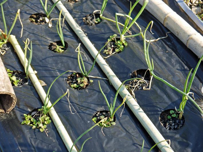 タマネギ、キャベツなどの草取りと追い肥(2・9~10)_c0014967_19385882.jpg