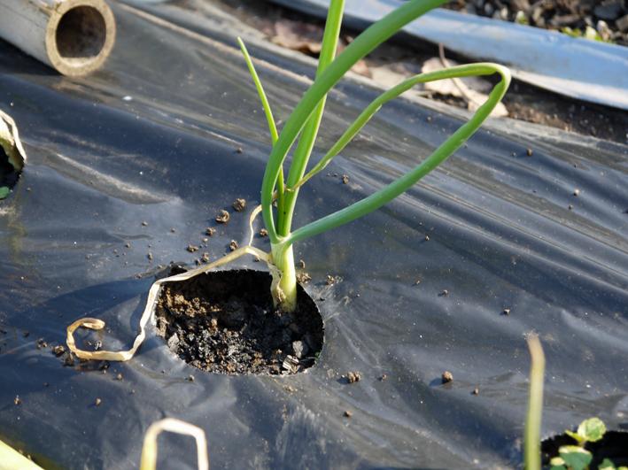 タマネギ、キャベツなどの草取りと追い肥(2・9~10)_c0014967_19393464.jpg