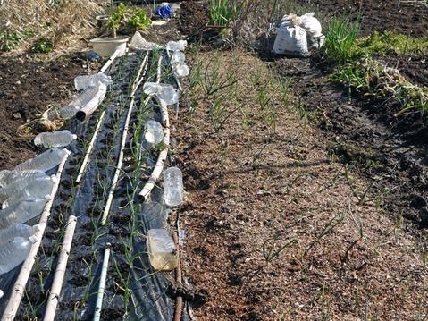 タマネギ、キャベツなどの草取りと追い肥(2・9~10)_c0014967_19411656.jpg