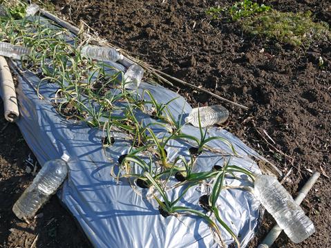 タマネギ、キャベツなどの草取りと追い肥(2・9~10)_c0014967_19414954.jpg
