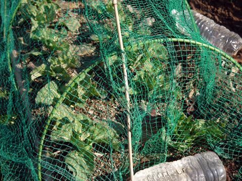 タマネギ、キャベツなどの草取りと追い肥(2・9~10)_c0014967_19421044.jpg