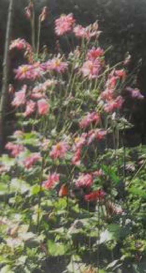 第3回アドベントカレンダー(20日目)「まぼろしの花 秋明菊」_f0228071_15555744.jpg