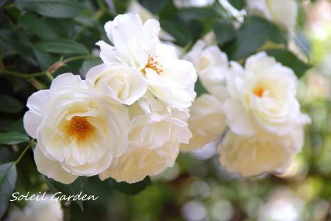 ◆最後のバラ・・・アイスバーグ_e0154682_23273161.jpg