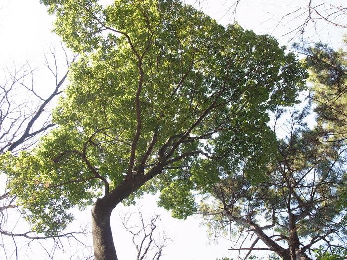 常緑広葉樹と落葉樹_e0276411_21544973.jpg