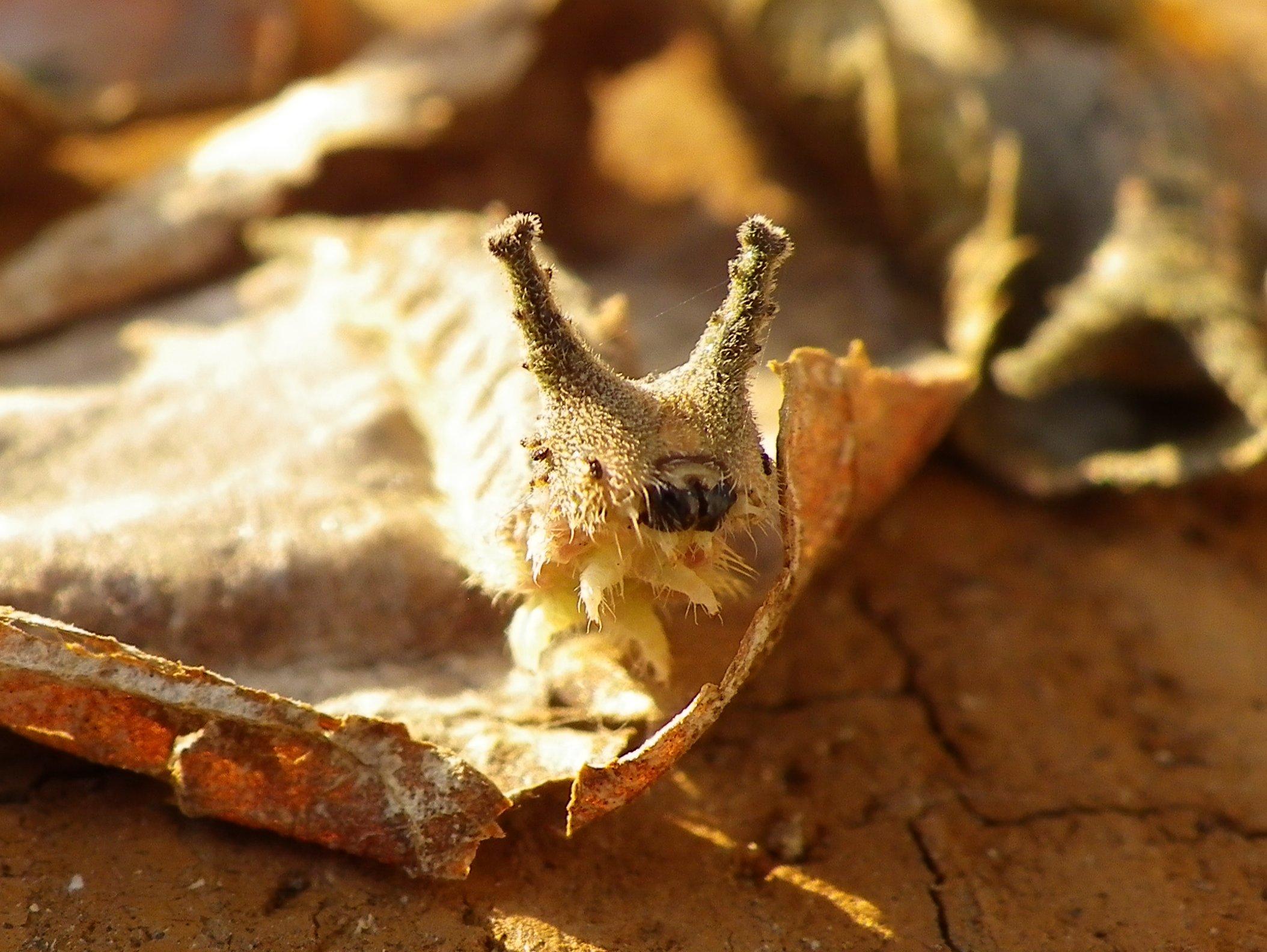 ゴマダラチョウの幼虫達_d0254540_19582512.jpg