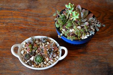 多肉植物ミニ寄せ植え仲間入り_d0263815_1440988.jpg