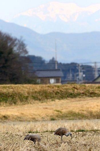 おもに鹿児島県出水地方に1~数羽が渡来_b0346933_745386.jpg