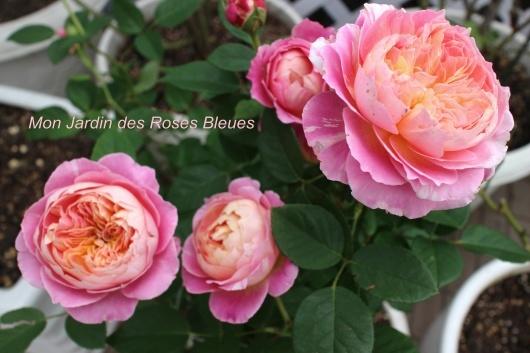 我が家の薔薇たち(クロード・モネ)_f0338156_00241854.jpg