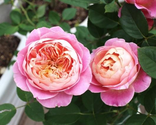 我が家の薔薇たち(クロード・モネ)_f0338156_00261506.jpg