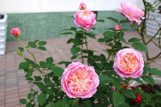 我が家の薔薇たち(クロード・モネ)_f0338156_00302190.jpg