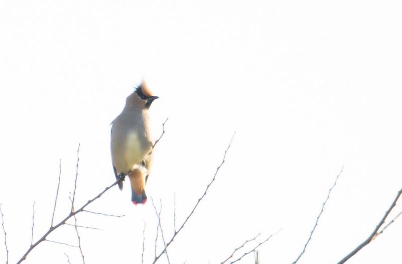 ★ヒレンジャク登場・・・先週末と祝日(2015.2.7~8,11)の鳥類情報_e0046474_10442636.jpg