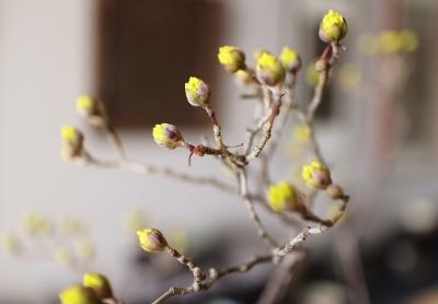 花だより 椿と山茱萸_a0279848_17054625.jpg