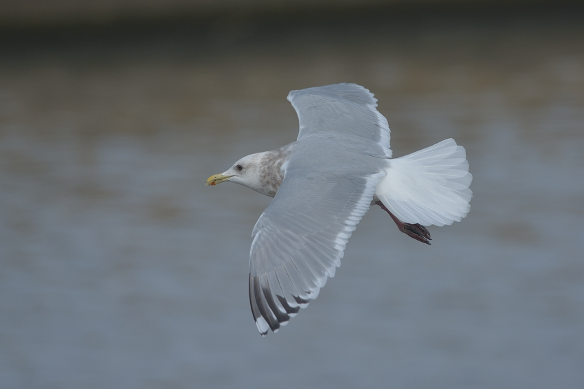 カナダカモメ(Thayer\'s Gull)~2015.02_b0148352_21191188.jpg
