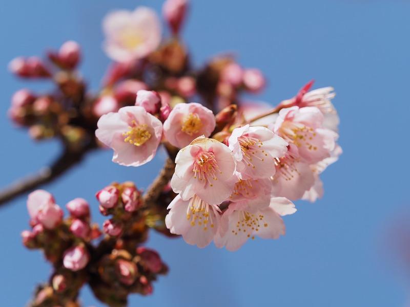 2月16日  早咲き桜_e0013767_20263588.jpg