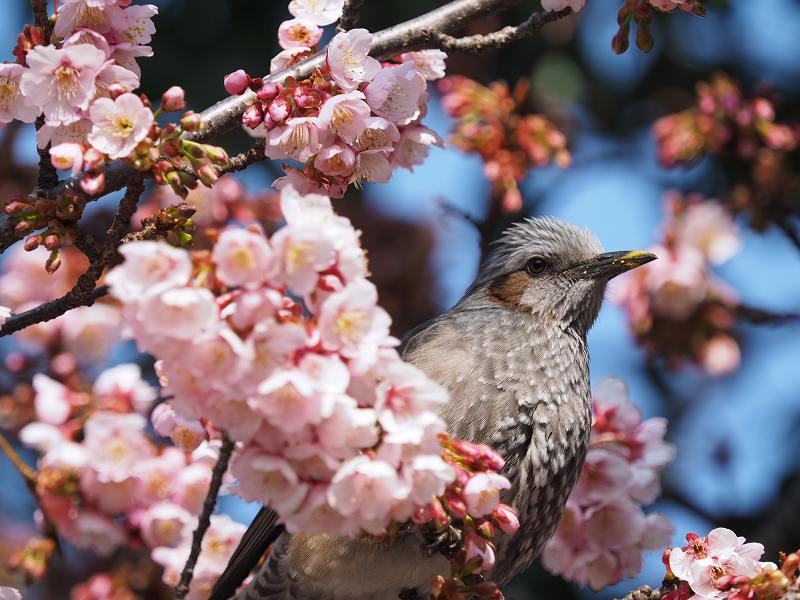 2月16日  早咲き桜_e0013767_20272830.jpg