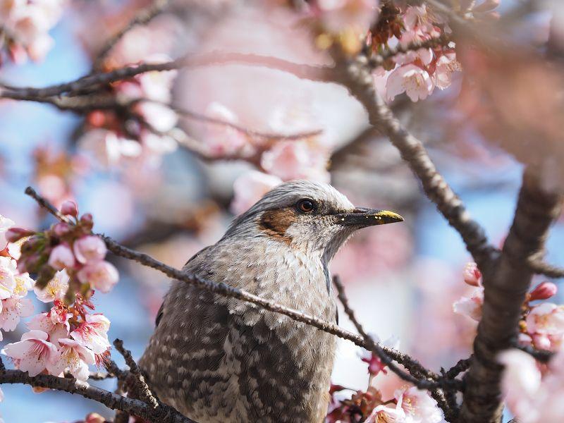 2月16日  早咲き桜_e0013767_2027715.jpg