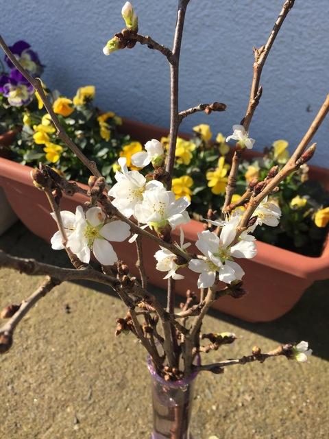 2月の桜_d0182179_19165982.jpg