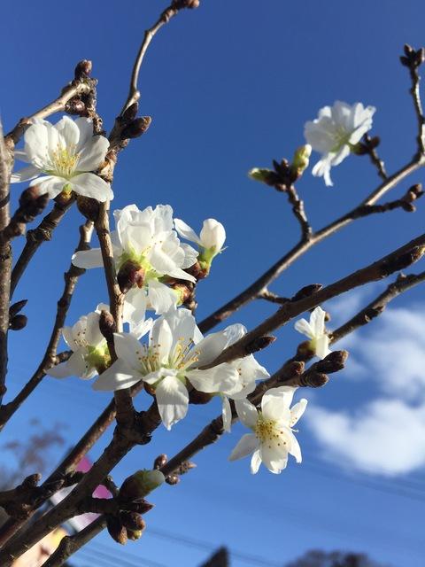 2月の桜_d0182179_19305158.jpg