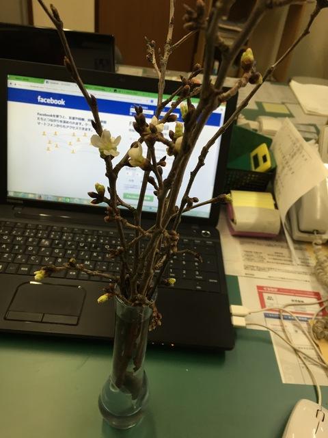2月の桜_d0182179_196390.jpg