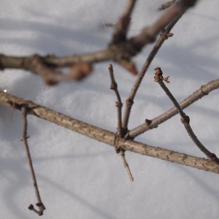 冬のエルダーとローリエ_a0292194_2120381.jpg