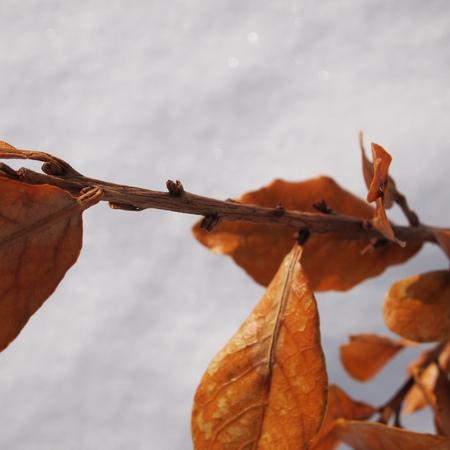冬のエルダーとローリエ_a0292194_21265686.jpg