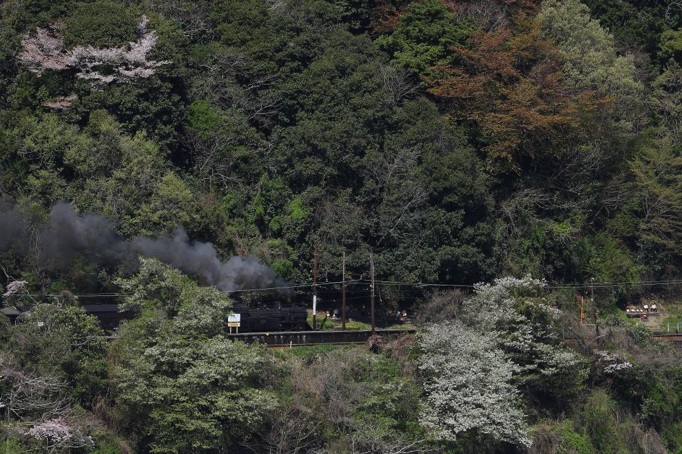 桜と狸が汽車を迎える駅 - 大井川鐵道 -  _b0190710_0401667.jpg