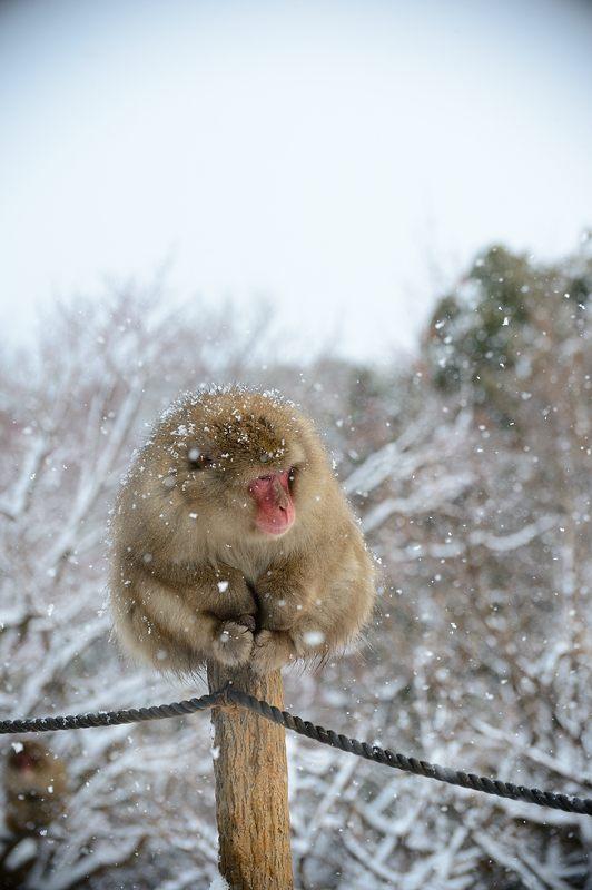 2015京の雪景色@嵐山モンキーパーク岩田山 「雪猿」・其の二_f0032011_19432396.jpg