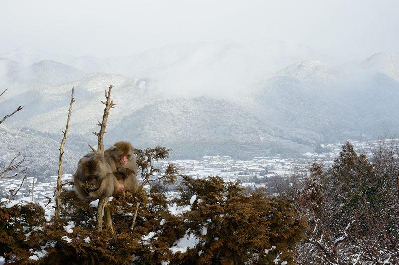 2015京の雪景色@嵐山モンキーパーク岩田山 「雪猿」・其の二_f0032011_19443697.jpg