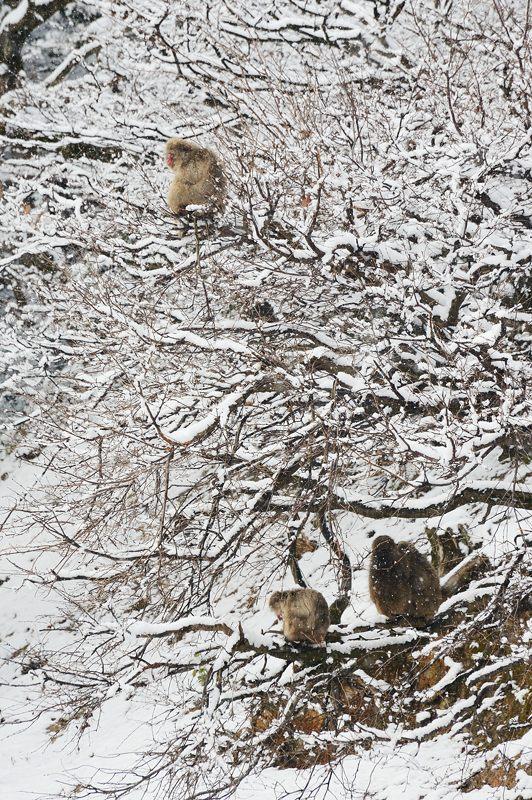2015京の雪景色@嵐山モンキーパーク岩田山 「雪猿」・其の二_f0032011_19444967.jpg