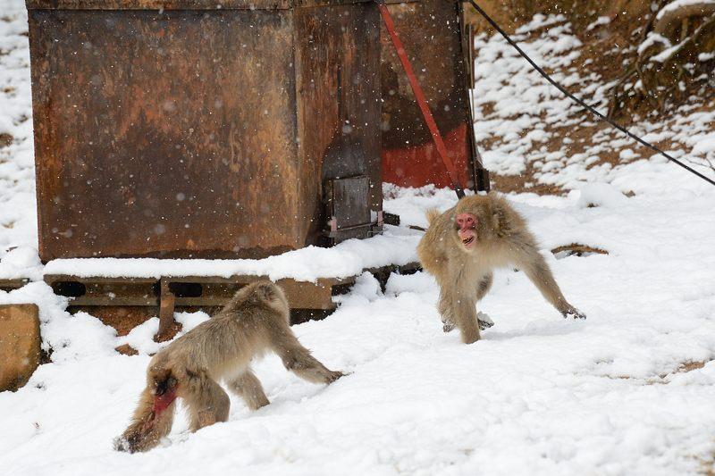 2015京の雪景色@嵐山モンキーパーク岩田山 「雪猿」・其の二_f0032011_1945948.jpg