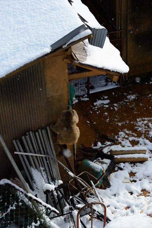 2015京の雪景色@嵐山モンキーパーク岩田山 「雪猿」・其の二_f0032011_19502090.jpg