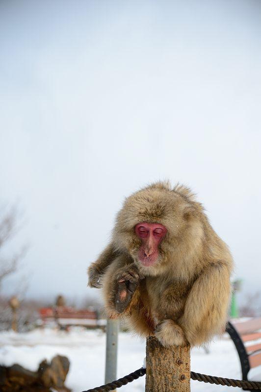 2015京の雪景色@嵐山モンキーパーク岩田山 「雪猿」・其の二_f0032011_1951512.jpg