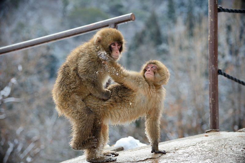 2015京の雪景色@嵐山モンキーパーク岩田山 「雪猿」・其の二_f0032011_19534236.jpg