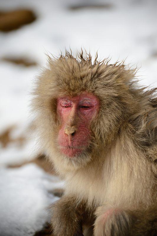 2015京の雪景色@嵐山モンキーパーク岩田山 「雪猿」・其の二_f0032011_1954766.jpg