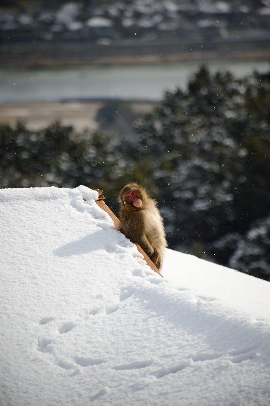 2015京の雪景色@嵐山モンキーパーク岩田山 「雪猿」・其の二_f0032011_19591199.jpg