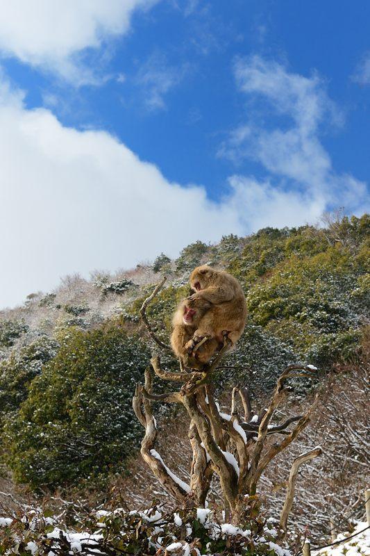2015京の雪景色@嵐山モンキーパーク岩田山 「雪猿」・其の二_f0032011_19595851.jpg