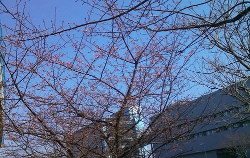 河津桜は、開花が遅れています..._b0137932_19515741.jpg