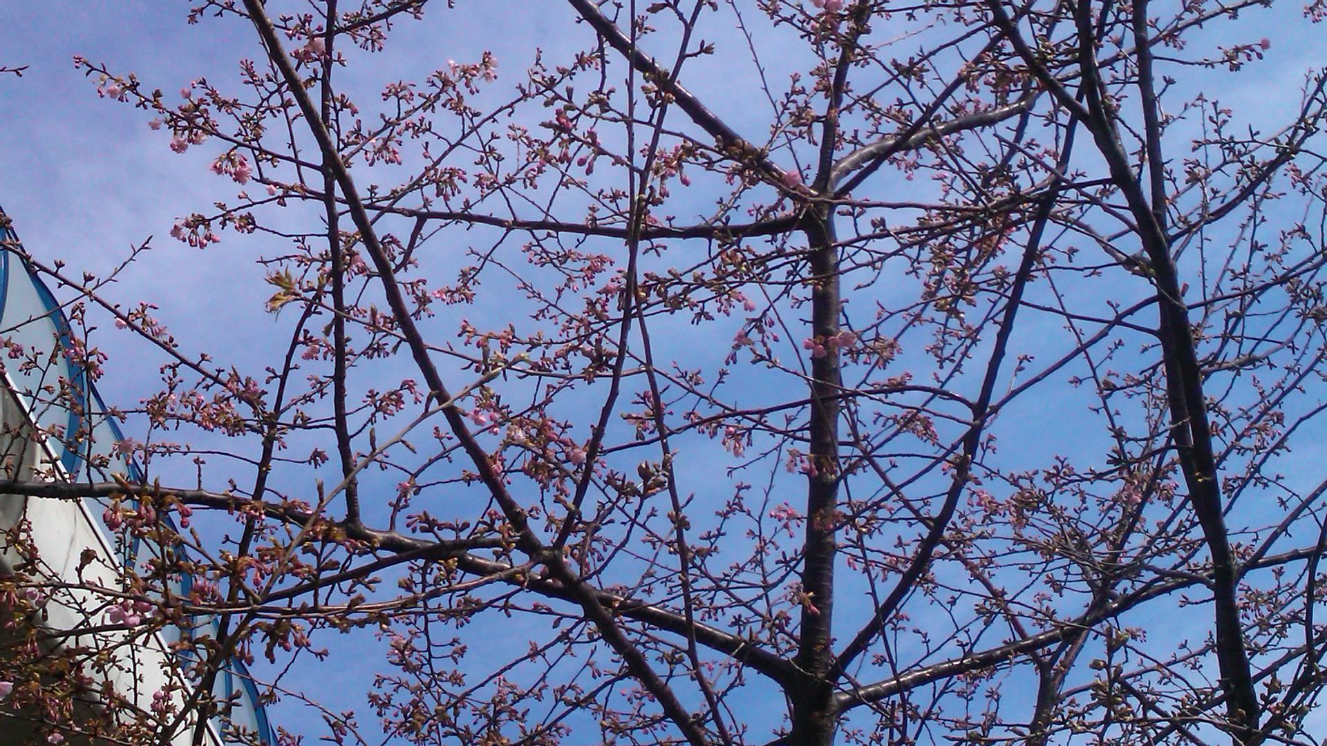 河津桜は、開花が遅れています..._b0137932_19522118.jpg