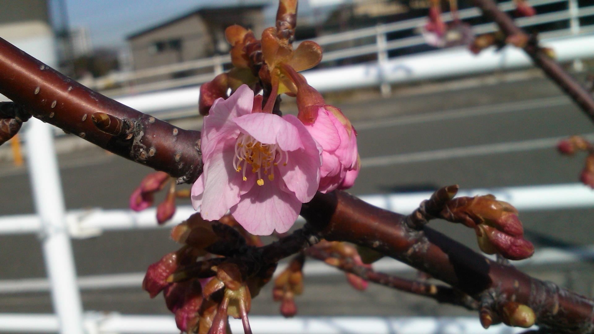 河津桜は、開花が遅れています..._b0137932_19535455.jpg
