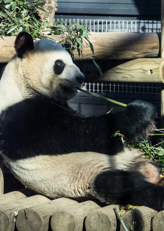 30年来の生パンダ/上野動物園_d0214541_13114626.jpg