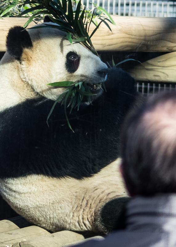 30年来の生パンダ/上野動物園_d0214541_13114989.jpg