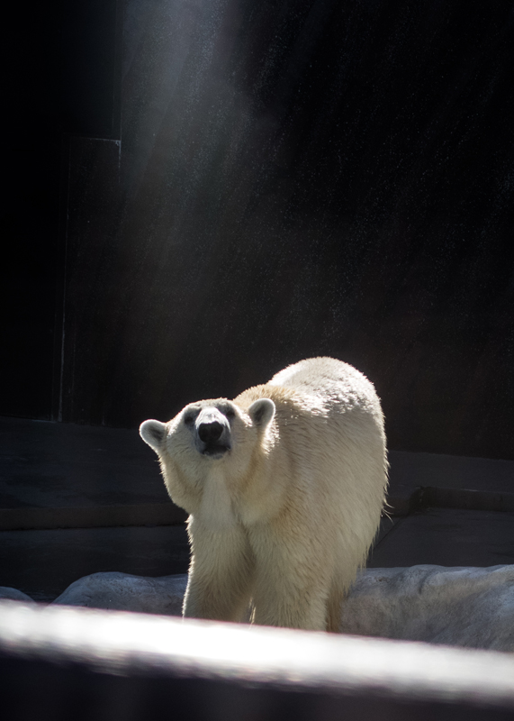 シロクマの思い出/上野動物園_d0214541_13174960.jpg