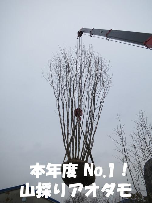 本年度 No.1!山採り アオダモ入荷!_b0200291_2092236.jpg