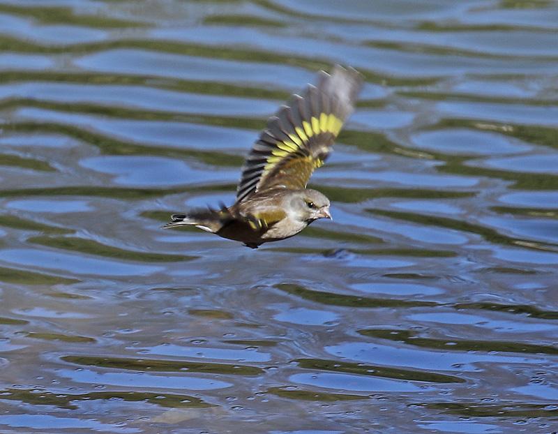 水辺で遊ぶ野鳥たち①♪_d0195897_13495875.jpg