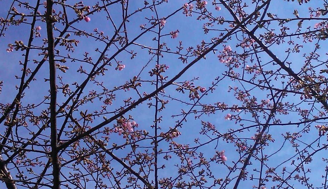 河津桜は、開花が遅れています..._b0137932_12165943.jpg