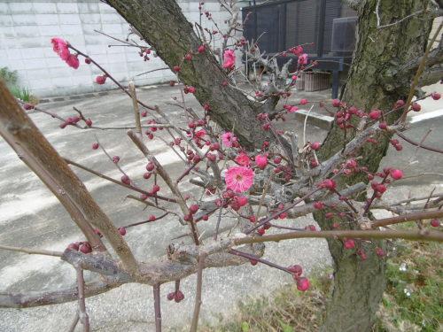 梅は咲いたか、、、。_f0205367_18090910.jpg