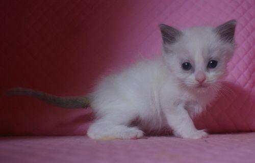ラグドール子猫 1月7日生まれ ブルーポイントバイカラー男の子_e0033609_21383376.jpg