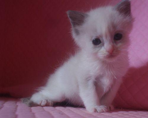 ラグドール子猫 1月7日生まれ ブルーポイントバイカラー男の子_e0033609_2138407.jpg